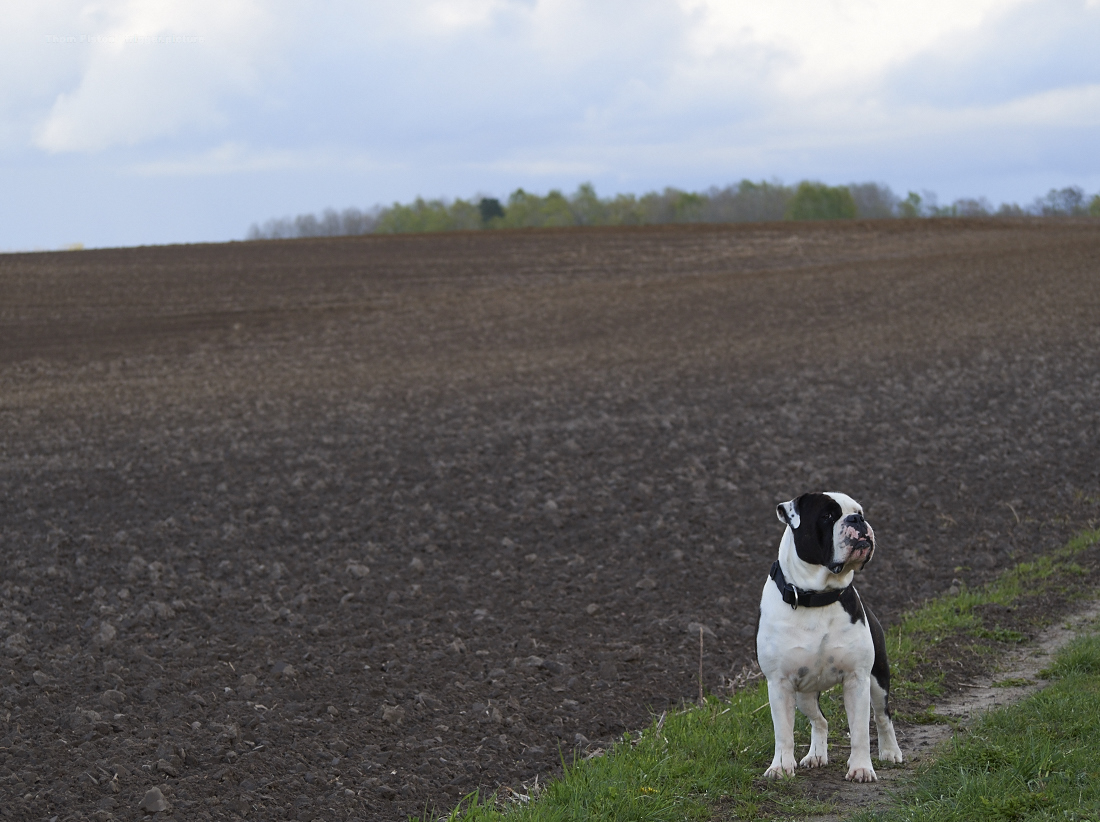 alwin the olde british bulldog auf SEINEM feld