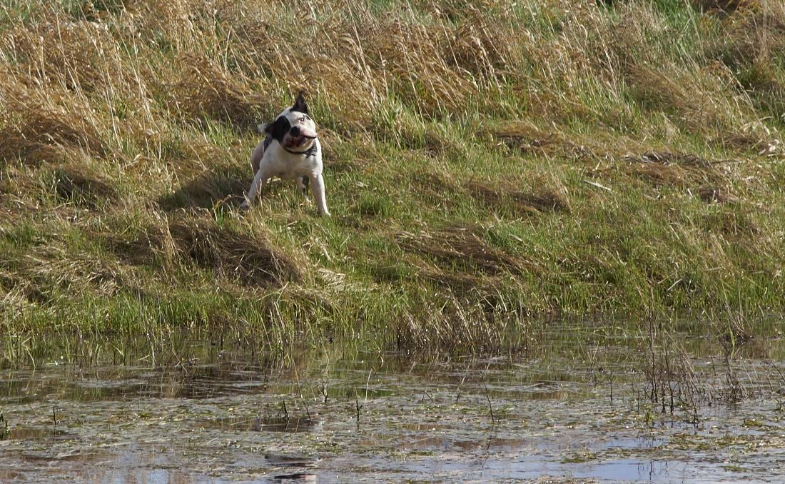 olde british bulldog am baden