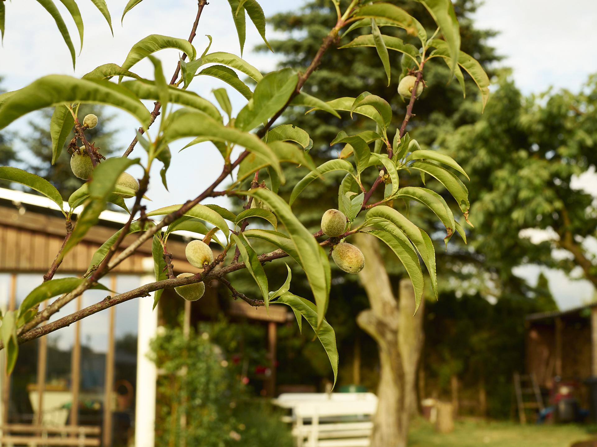aprikosenbaum im dakota home