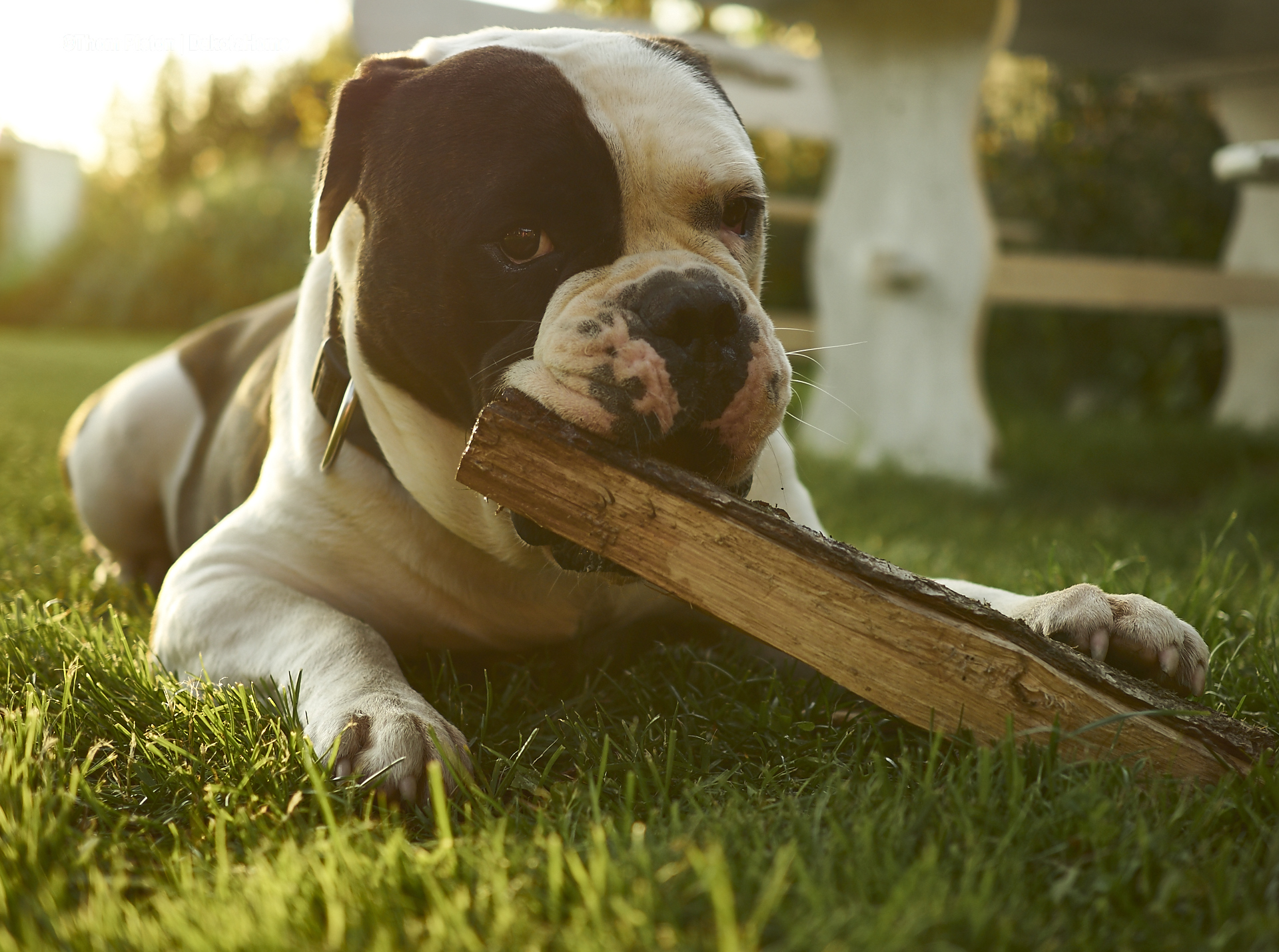 alwin the olde british bulldog macht anmachholz