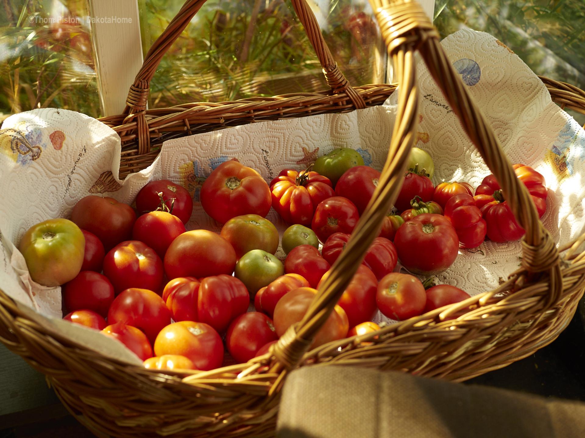 nachgereifte Tomaten aus dem Gewächshaus des Dakota Home