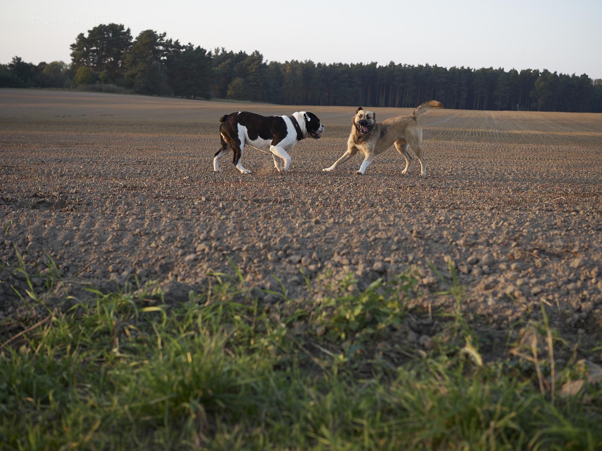 alwin die bulldogge mit seiner grossen liebe