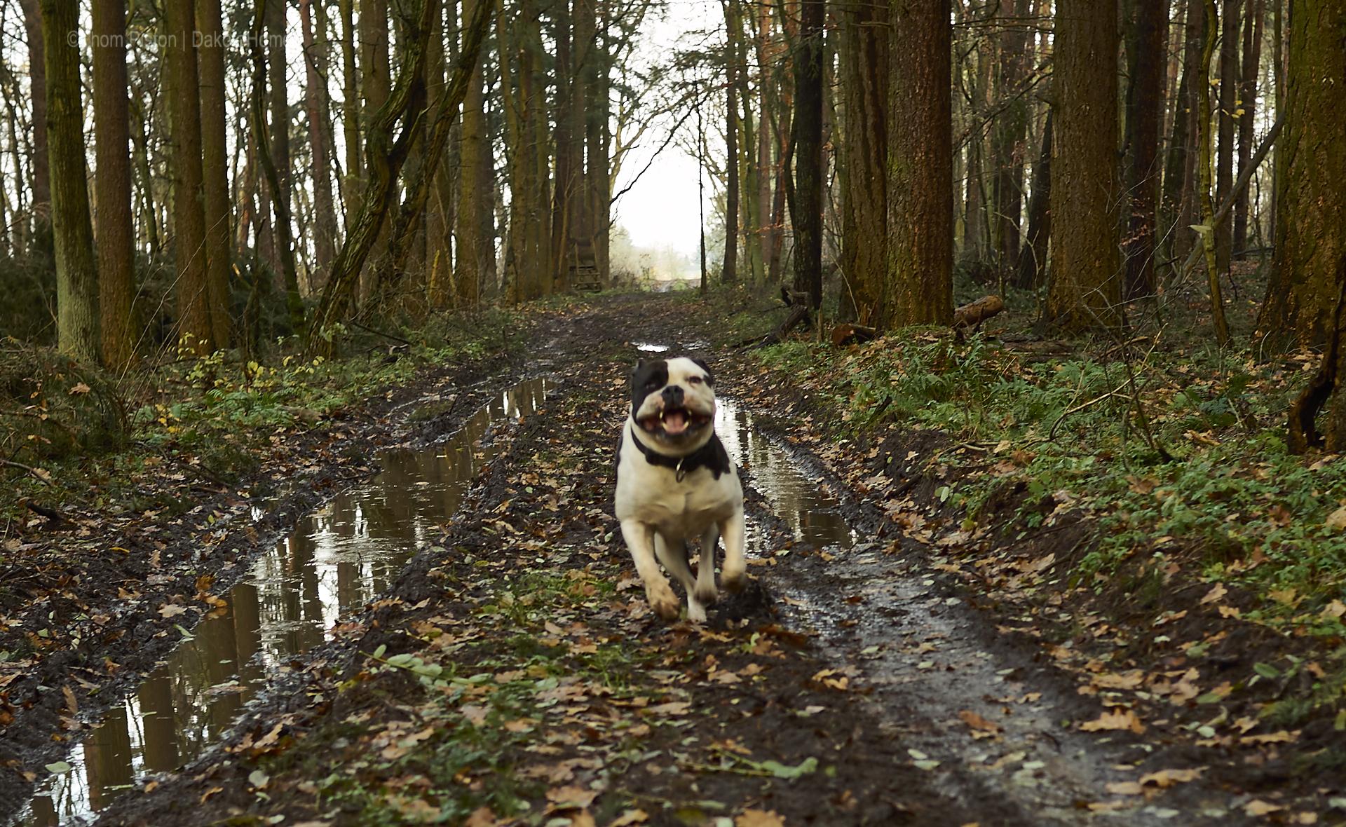 alwin die bulldogge unterwegs beim ruhig durch den wald laufen..