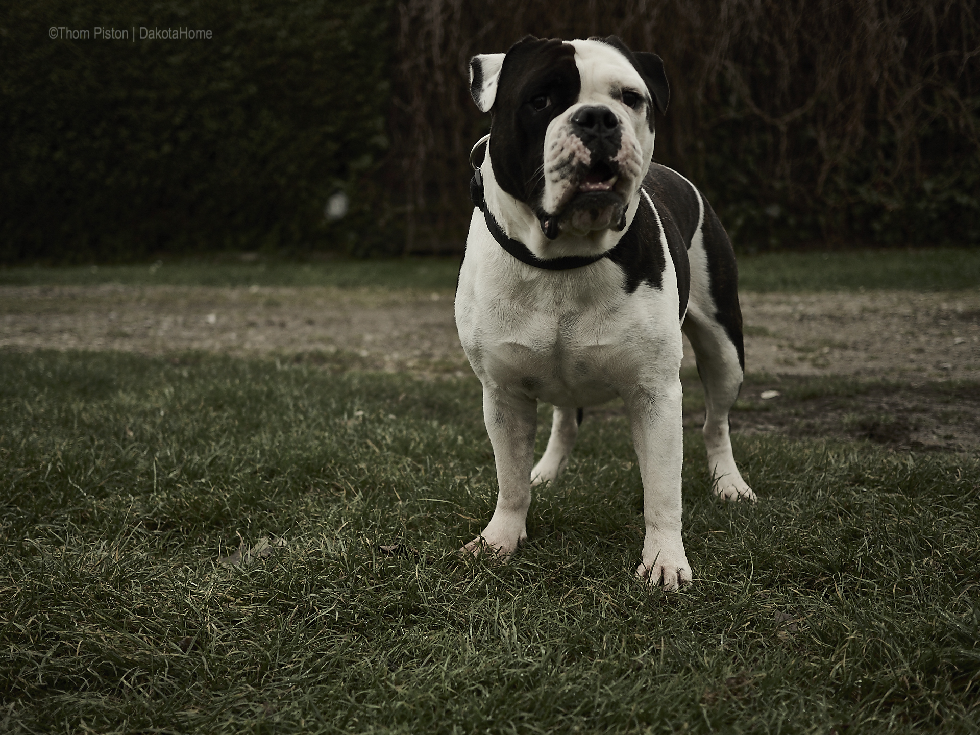 Alwin the Olde British Bulldog