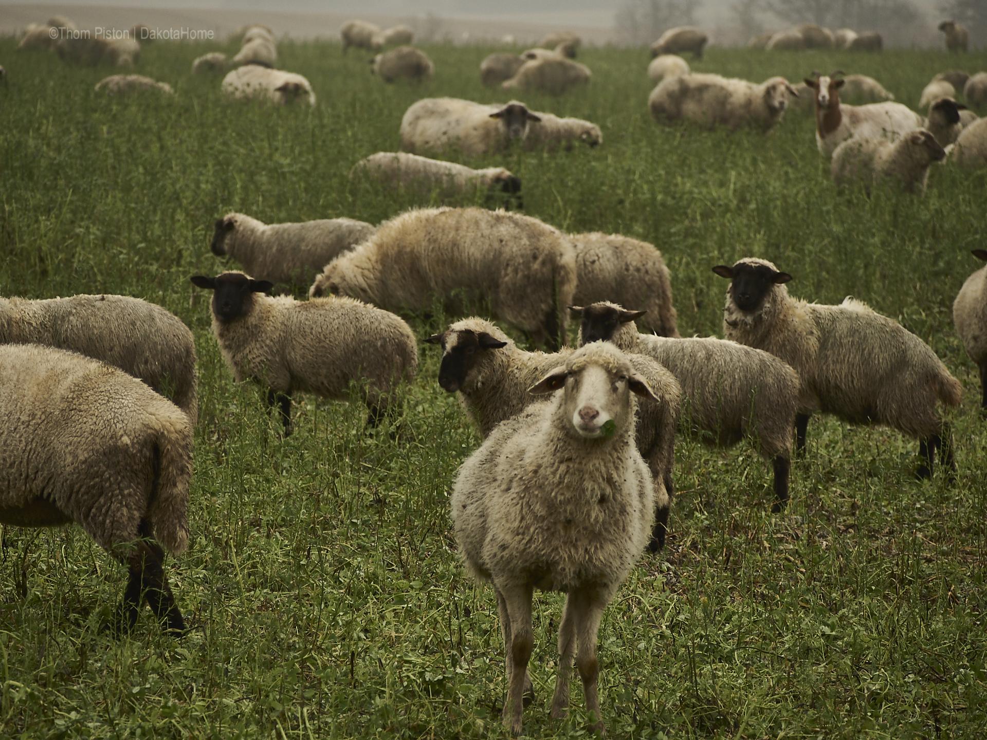 Schafe sind sehr lustige Tiere