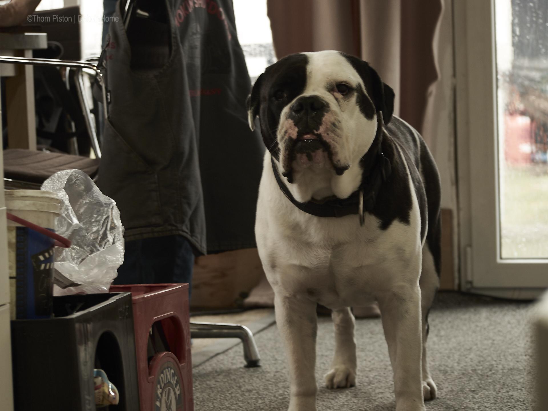 ..die olde british bulldog am verhungern..