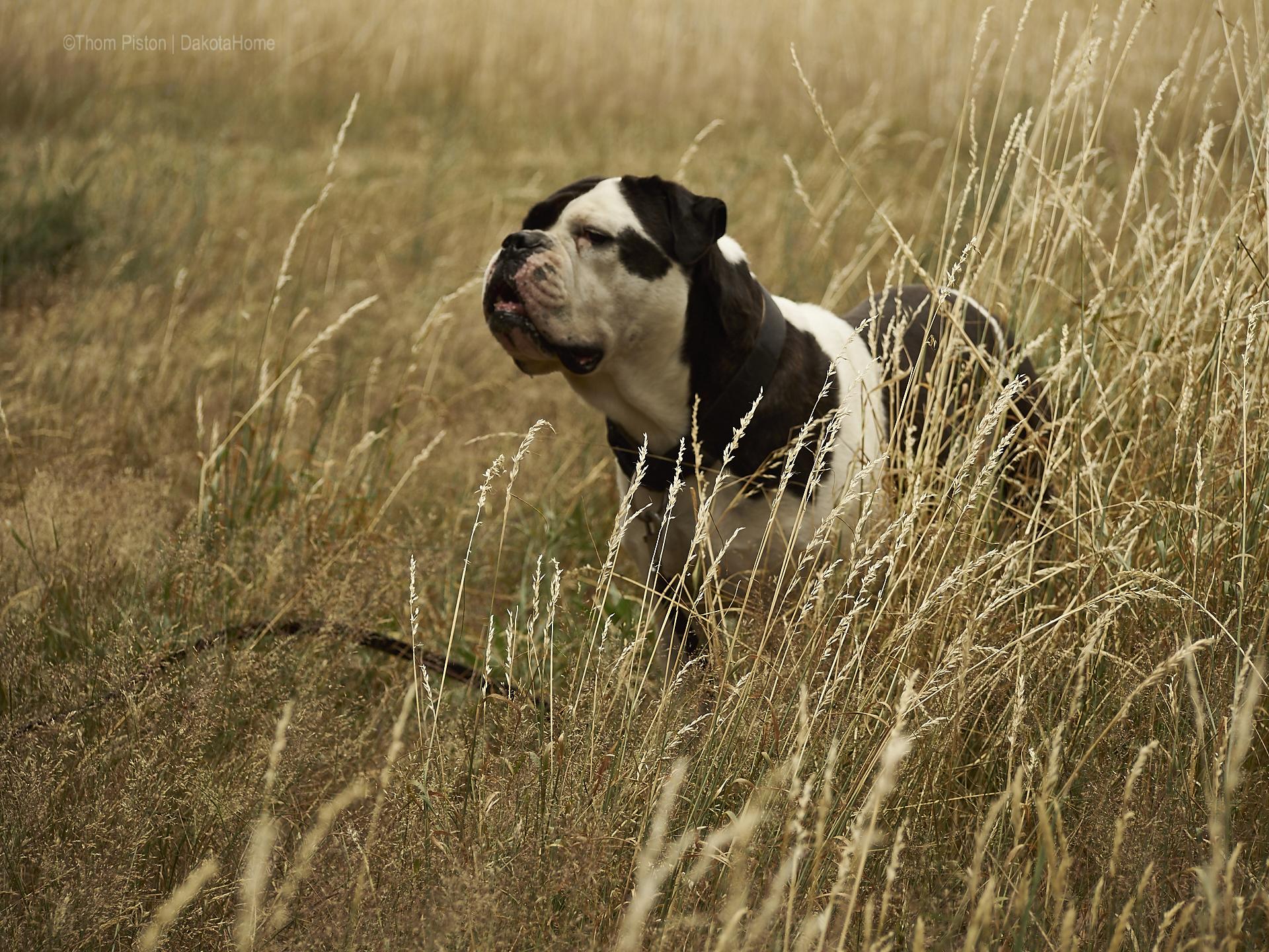 die Bulldogge hat Nase in Wind...