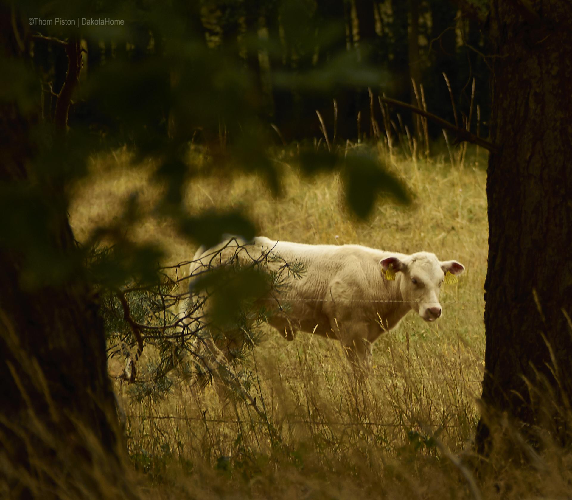 Rinder im Wald