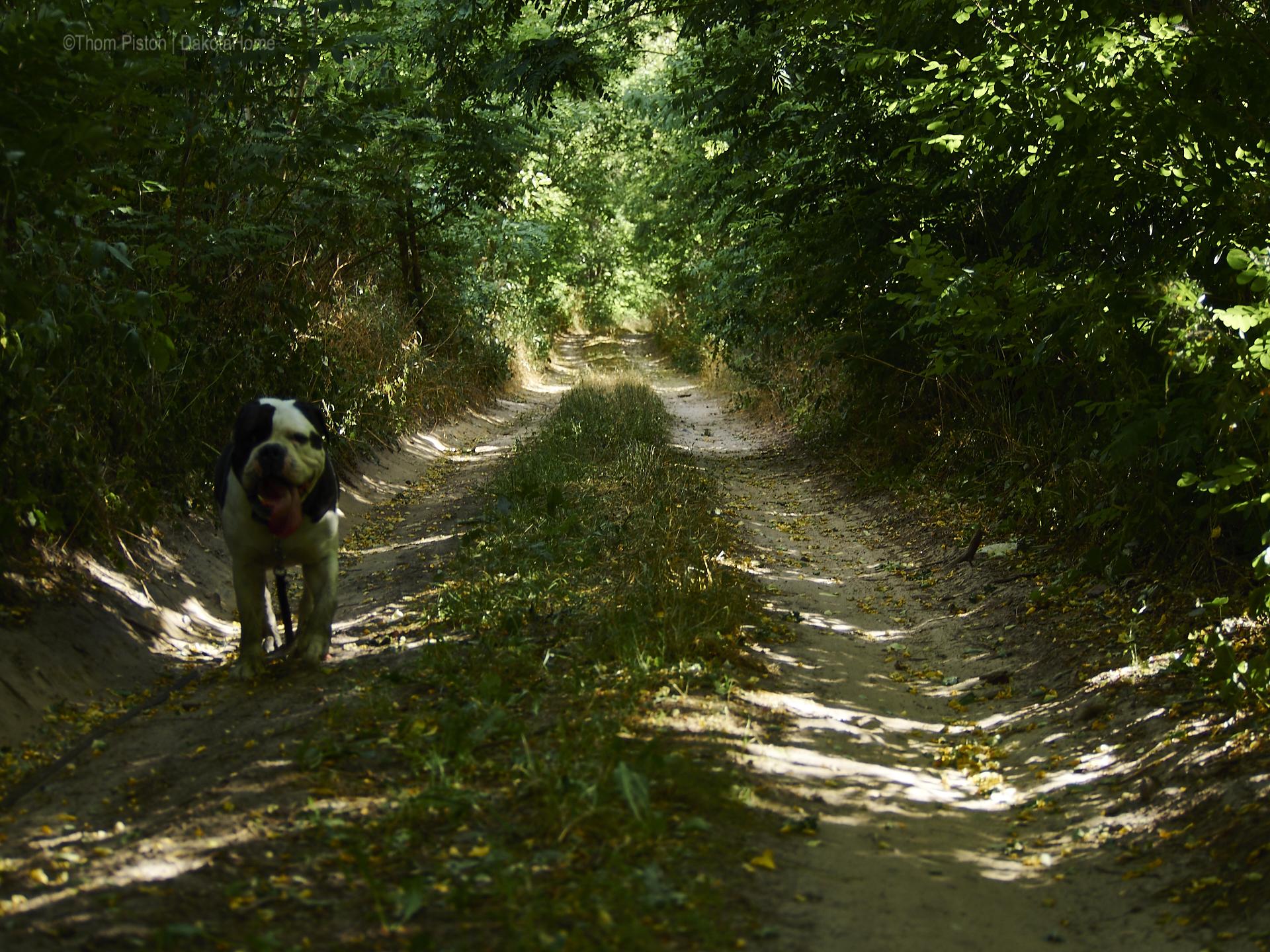 ...meinen Partner, der Olde British Bulldog, stresst die Hitze extrem...aber früh Morgens gehts...irgendwie...