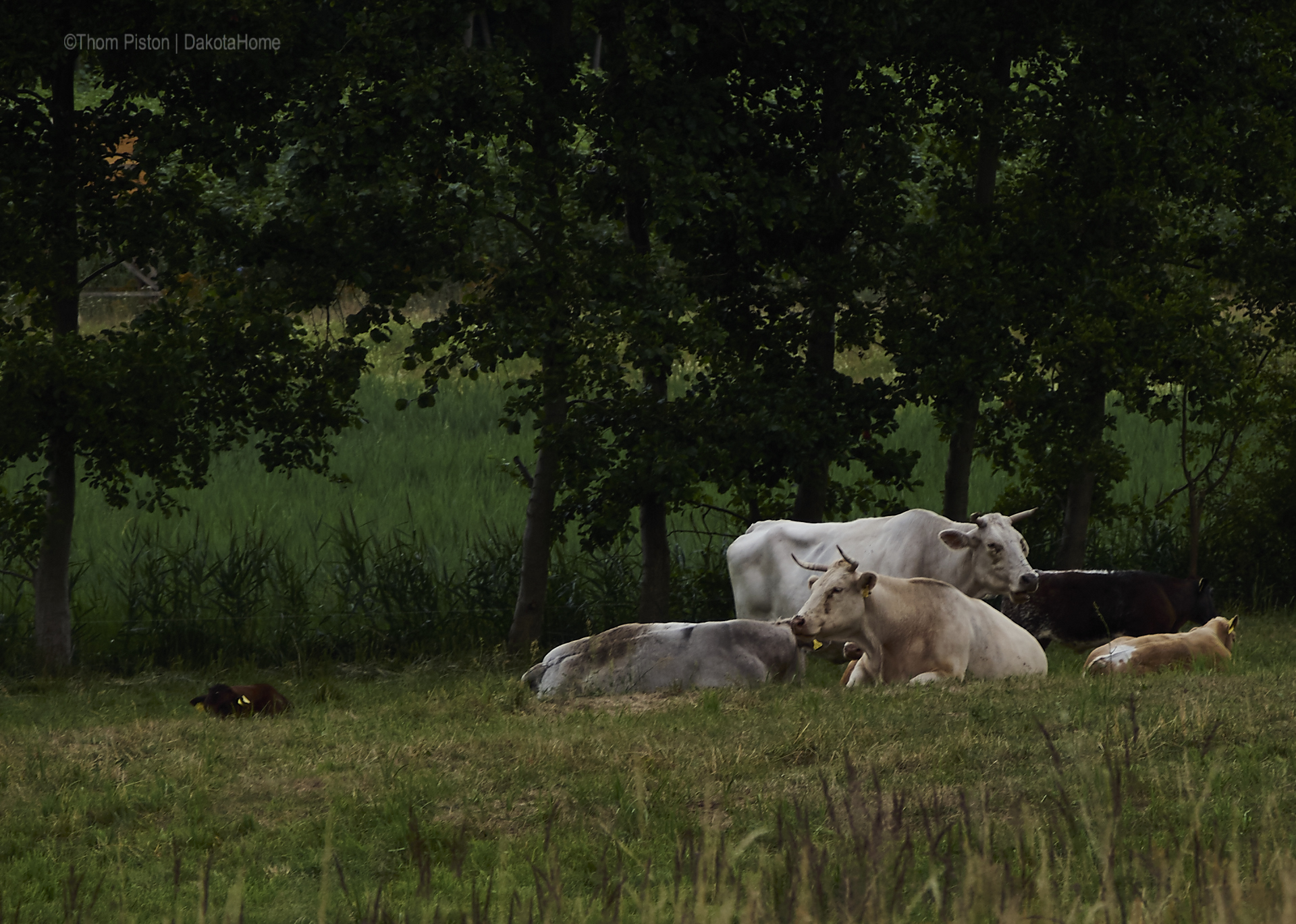 auch die Rinder sind noch müde zu der Zeit...