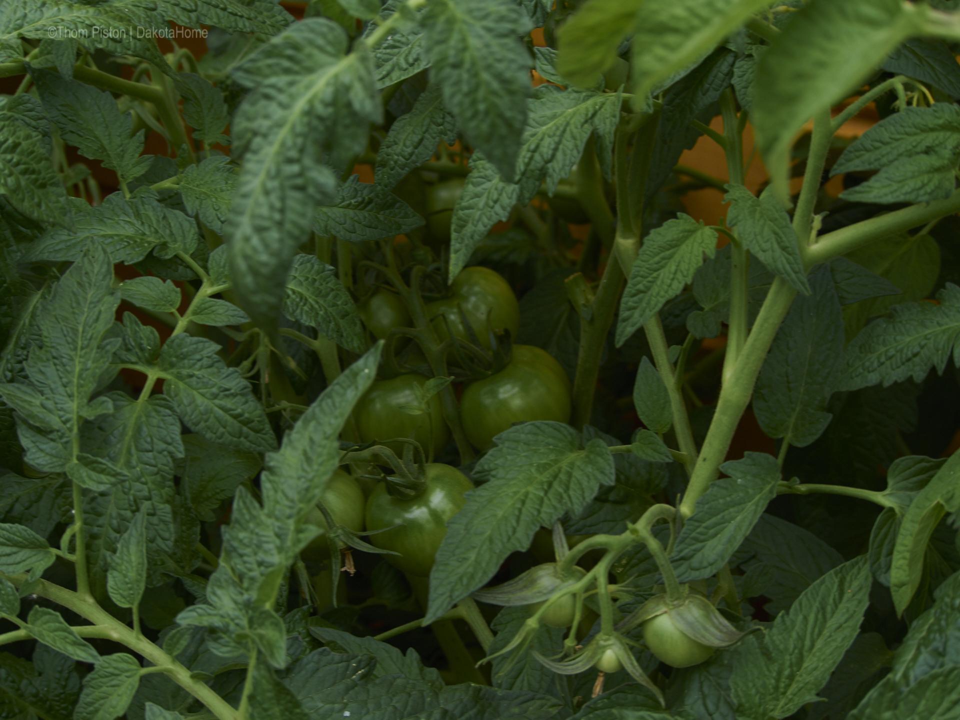 also des mit den Tomaten wird auch gut dieses Jahr...