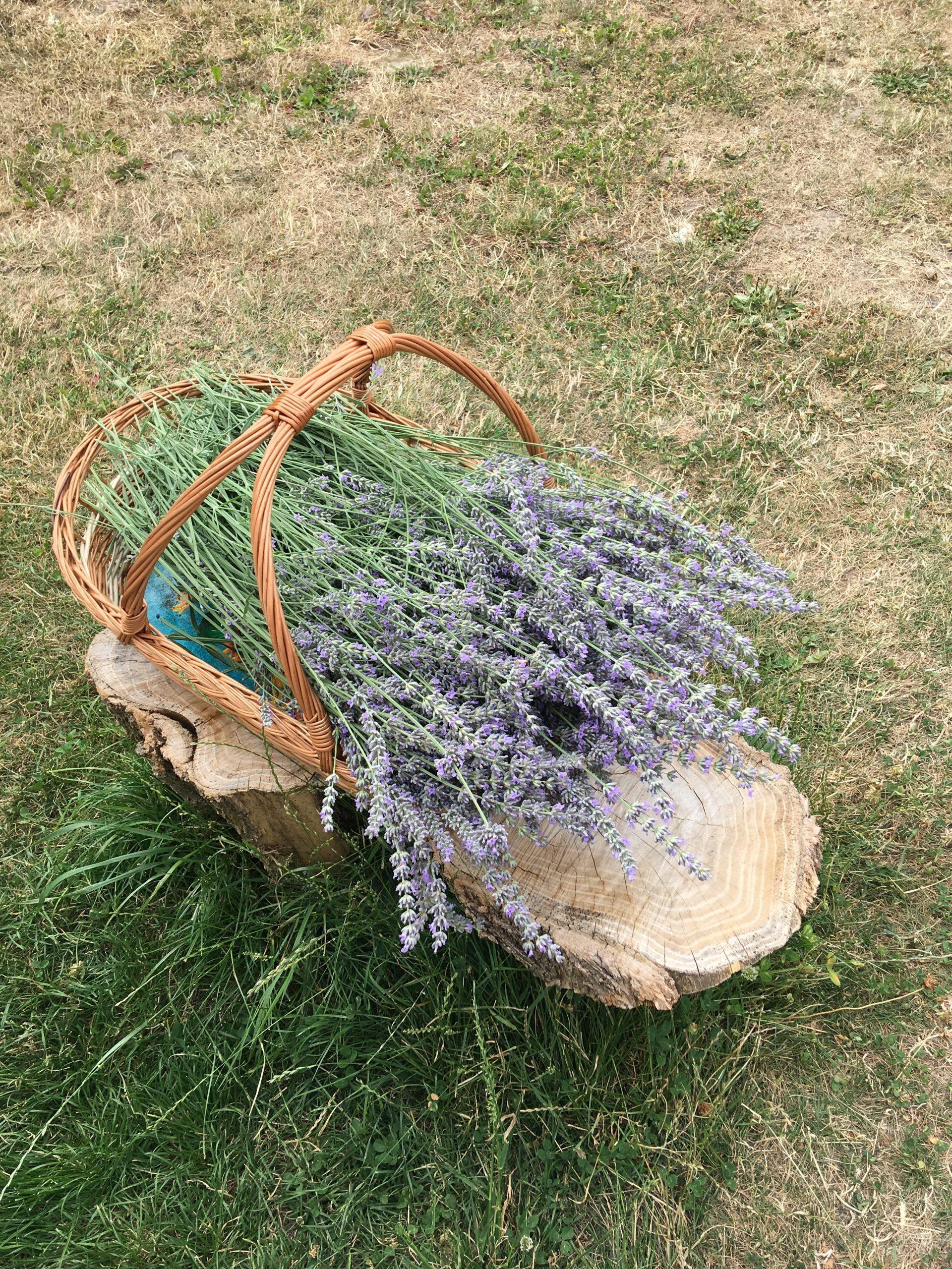 Lavendel zu nem drittel zurueck geschnitten..in der hoffnung das er noch ne runde einlegt...