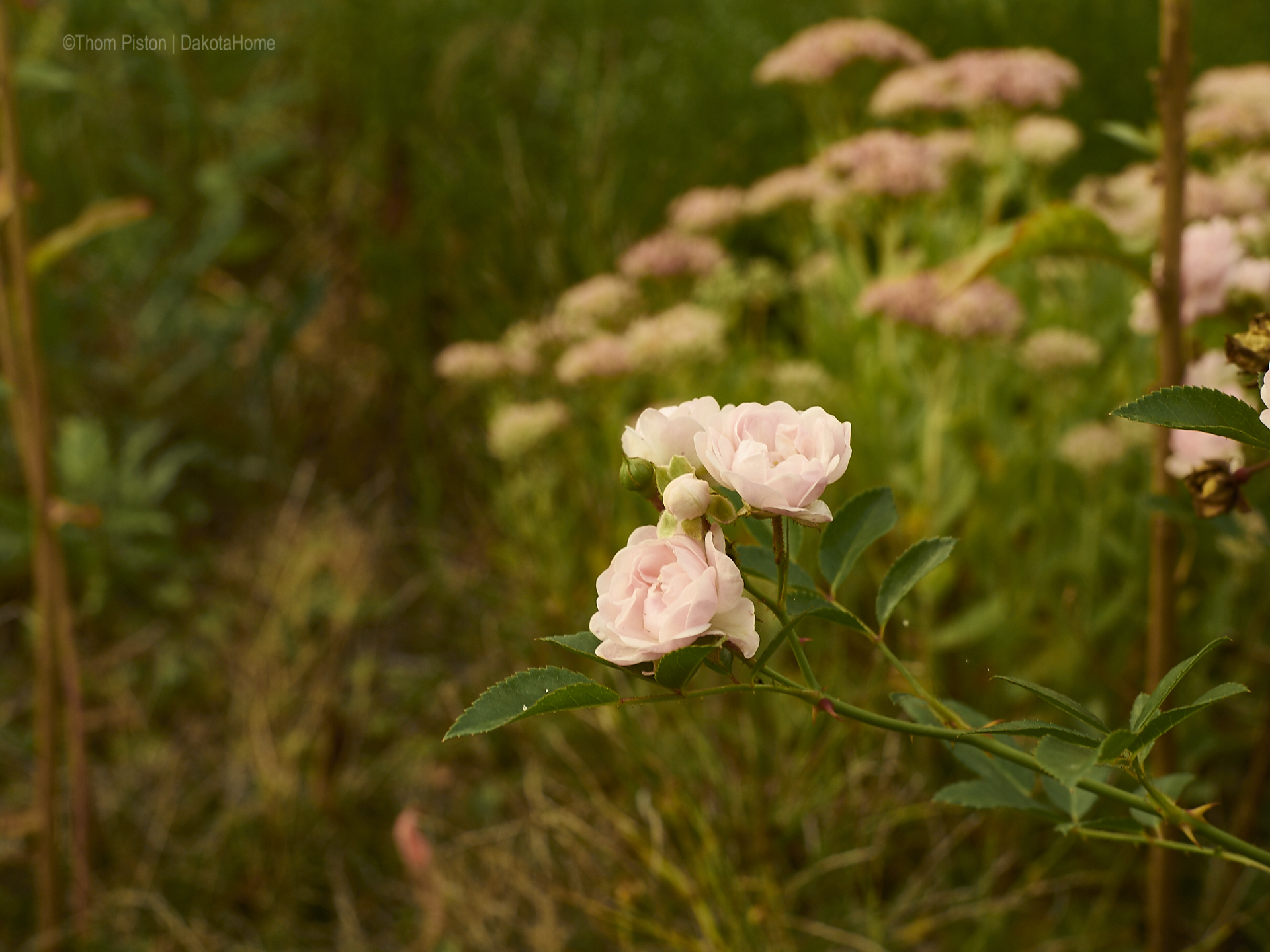 unsere Rosen, wir lieben sie..und Sie verzeihen uns dieses Jahr alles..
