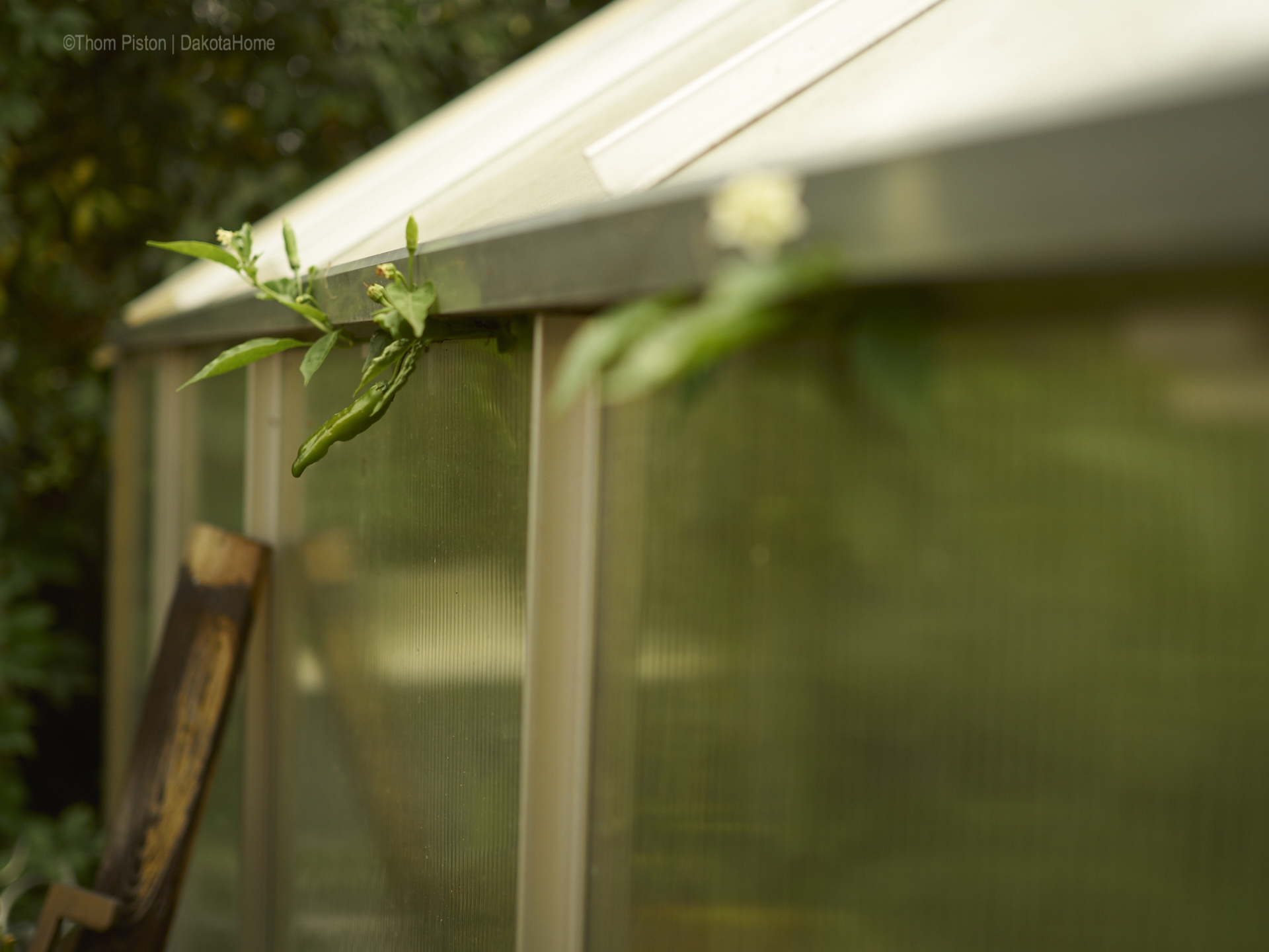 die chilis die nicht mehr ins das Gewächshaus passen..wachsen halt einfach nach draussen...