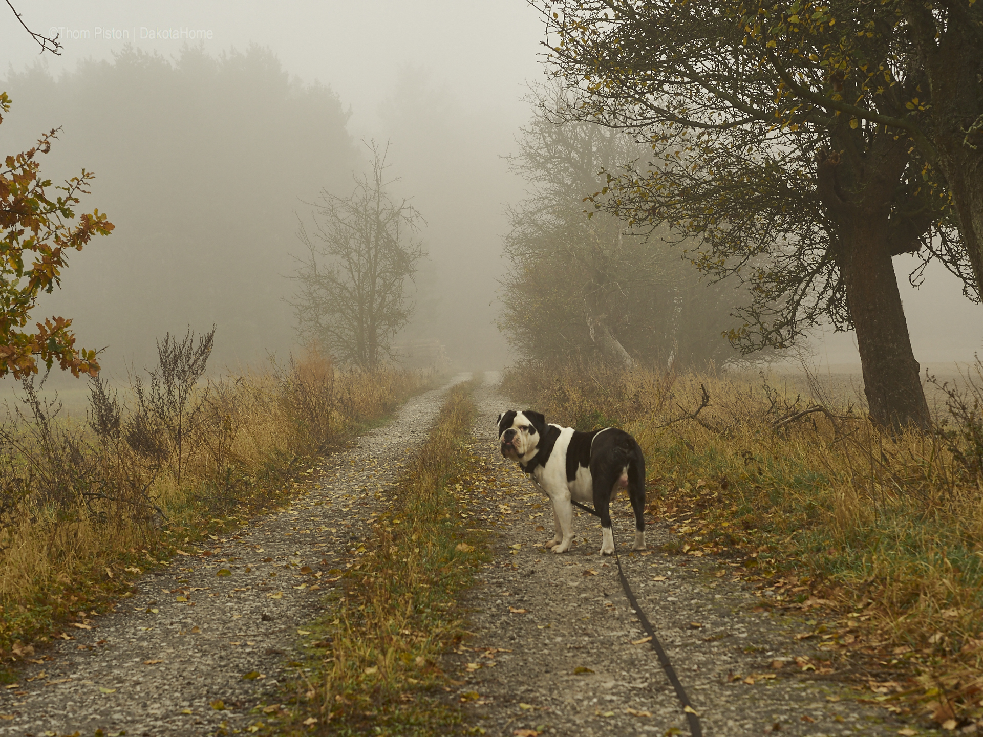 Mitte November, Bulldogge im Nebel in Brandenburg