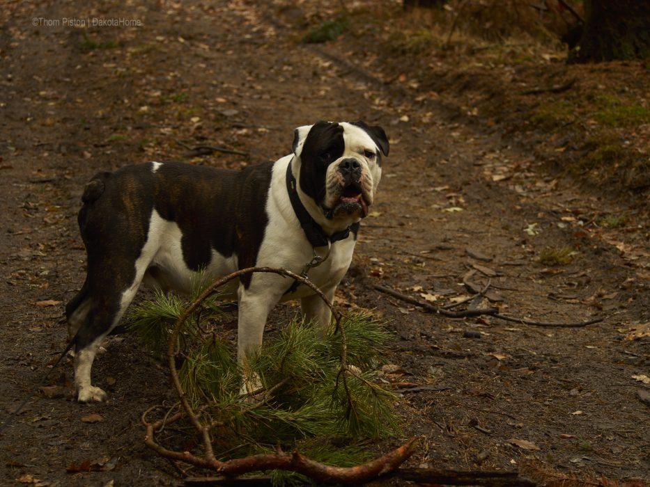 Alwin die Bulldogge und sein Wald...besser gehts für ihn nimmer..