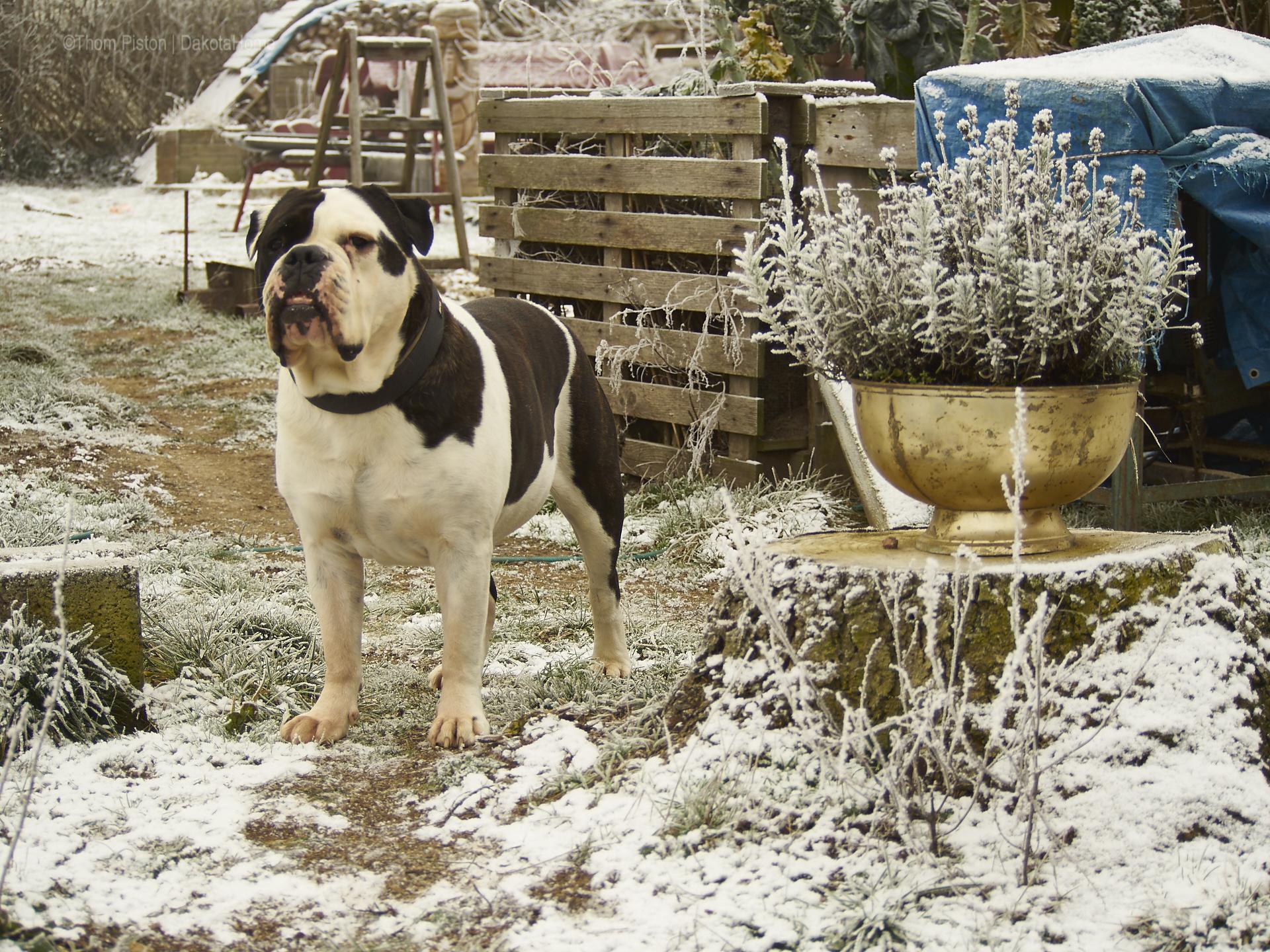 Alwin der Eisbär, aehm nö, die Bulldogge at Dakota Home Mitte Januar 2019