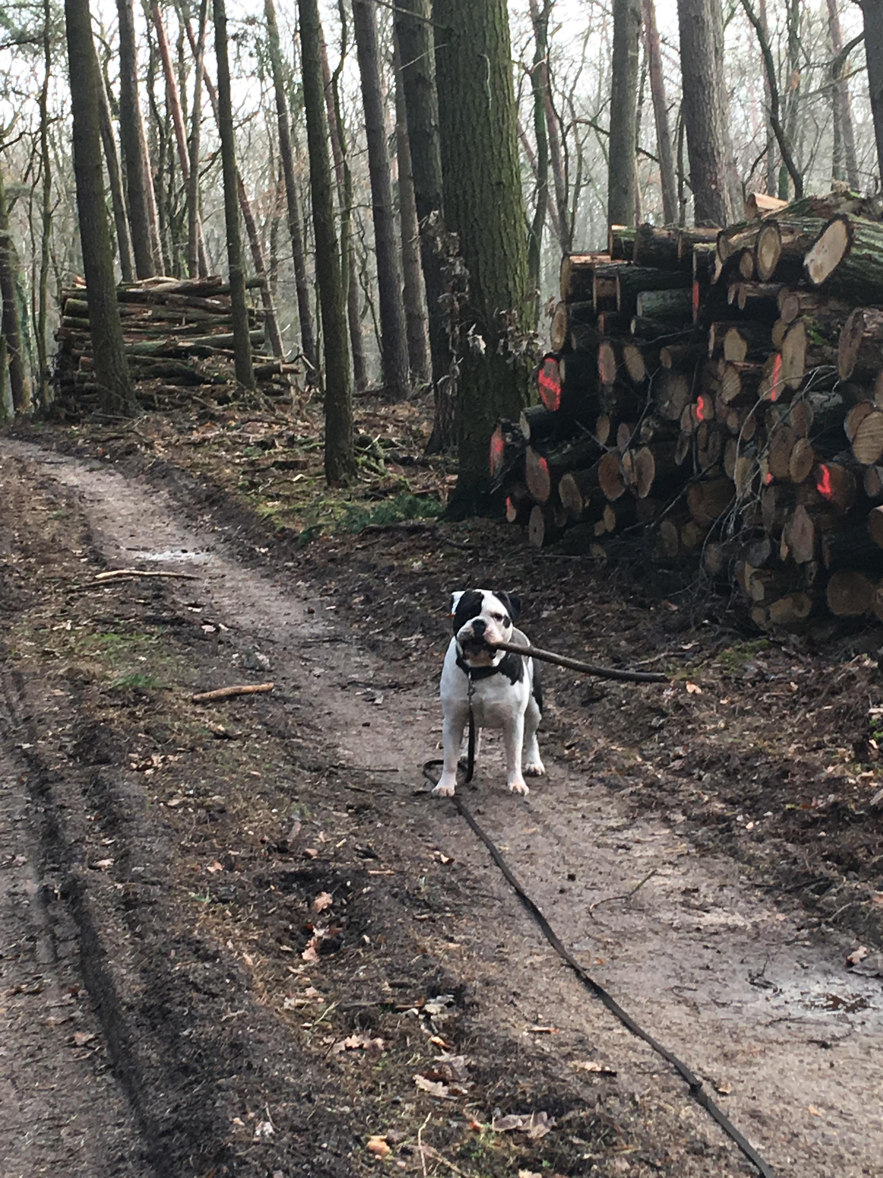 Alwin die Bulldogge wie immer beim aufräumen seines Waldes..