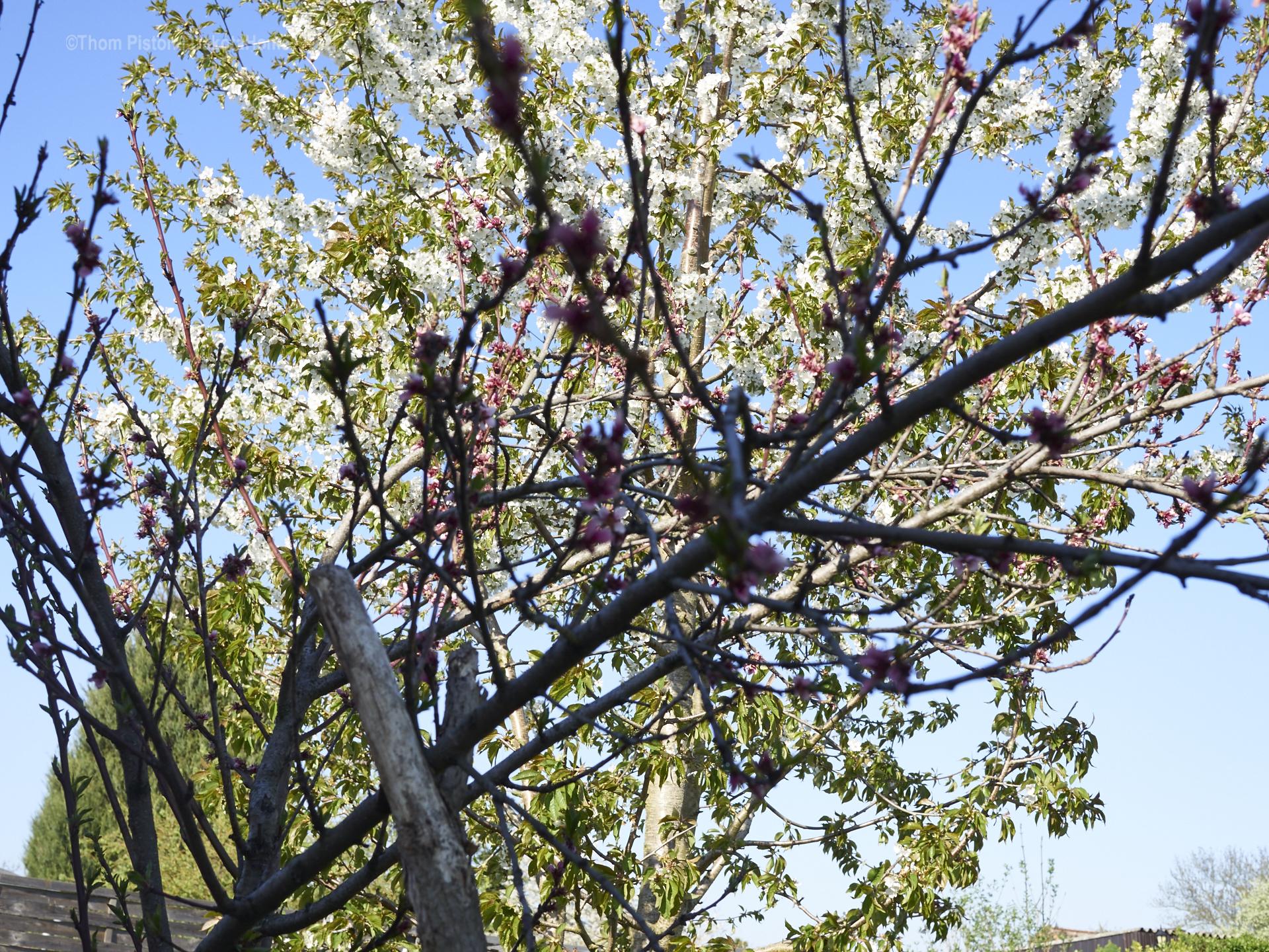Pfirsich und Kirschbaum auf der PondeROSA
