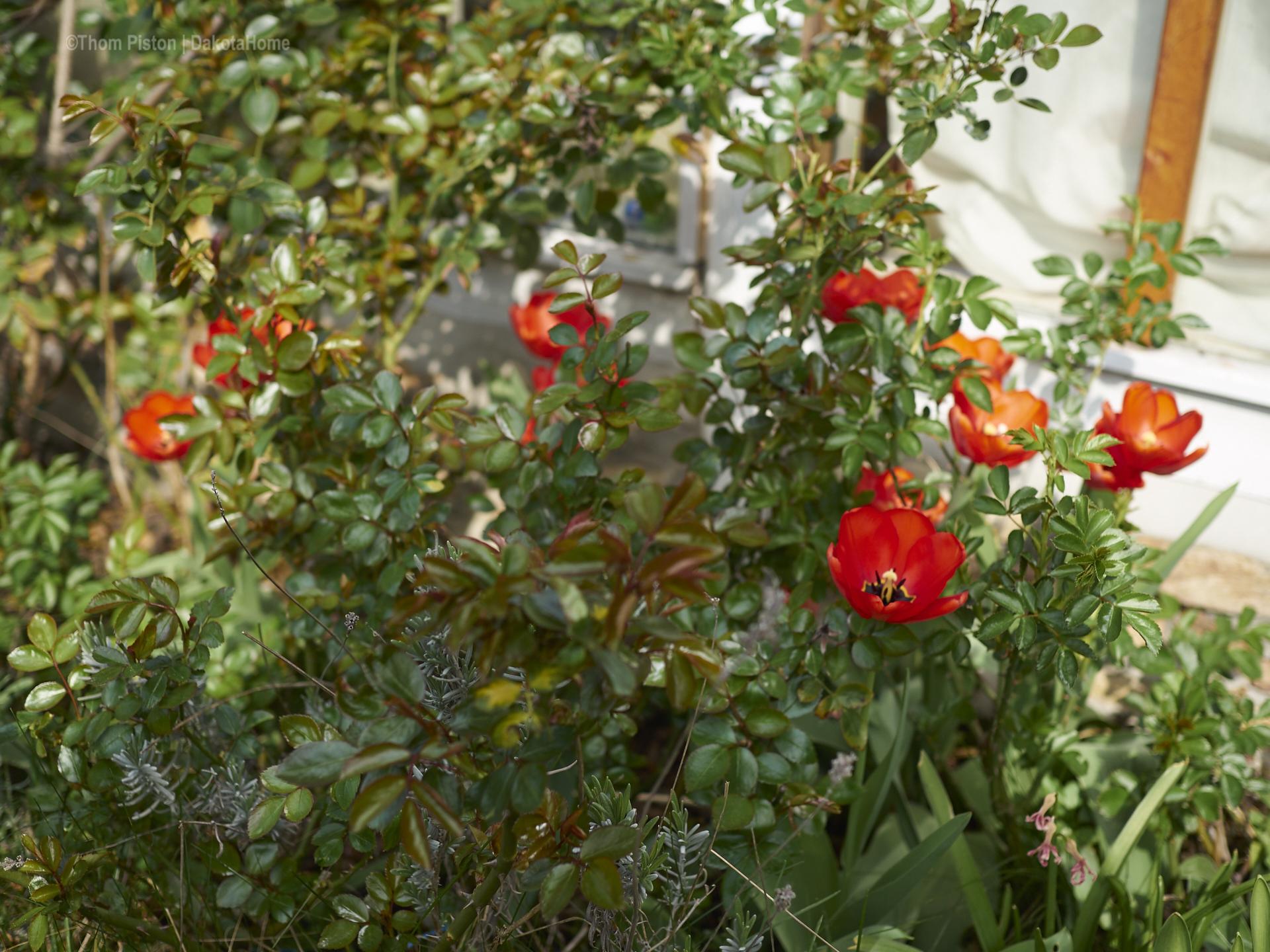überall Tulpen..warum auch immer..aber ihr seht wir könn auch Blumen..haha
