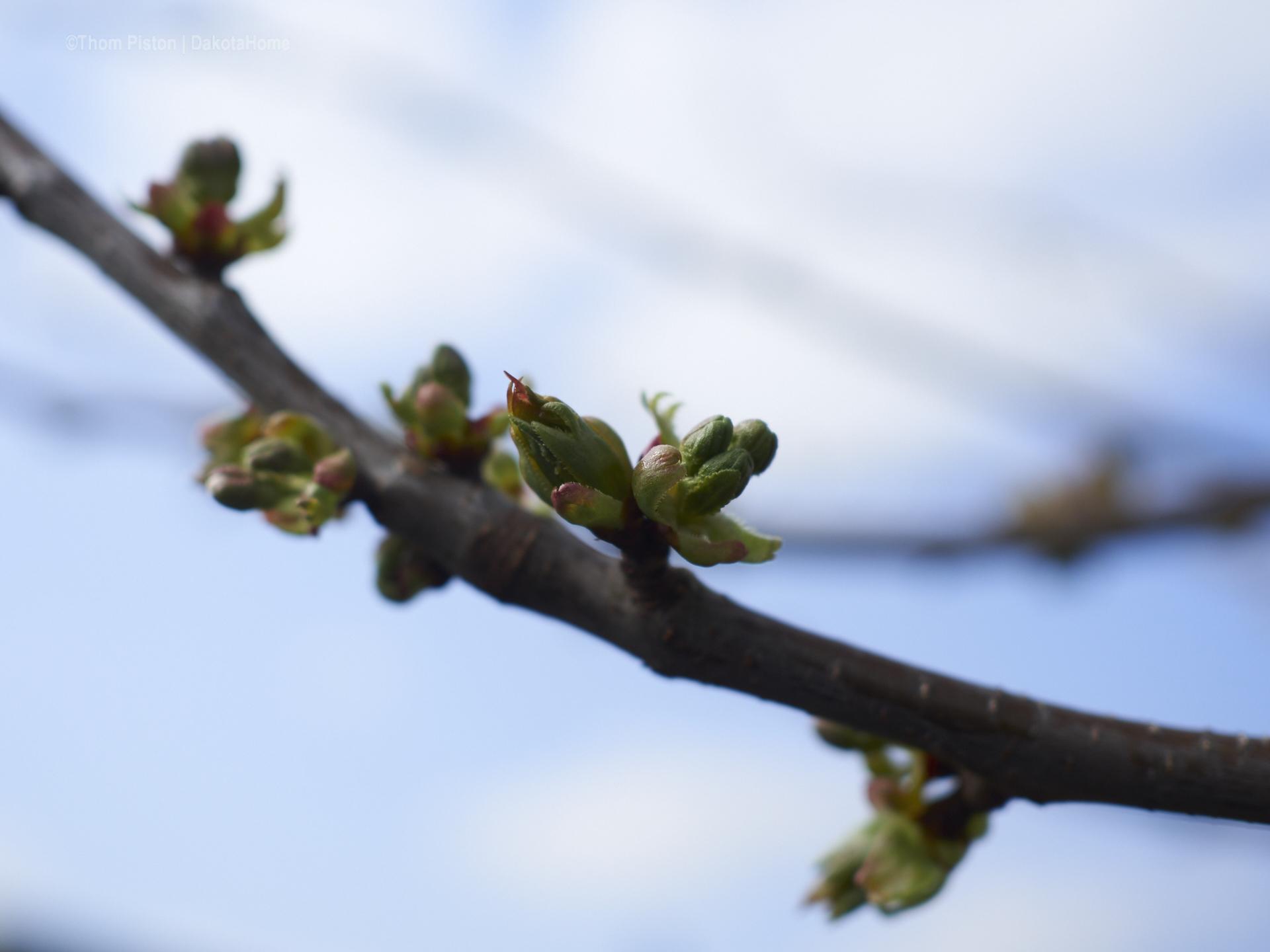 ...unsere Kirschbäume stehn auch voll in blüte