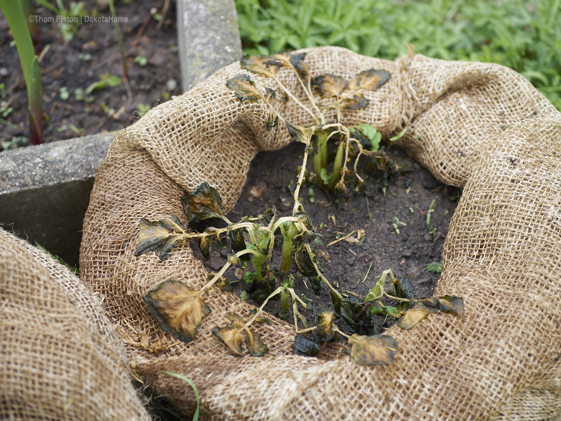 erfrorene kartoffeln anfang mai 2019