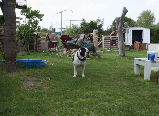 Alwin the Olde English Bulldog, die so gar keine veränderungen mag...weiss gerade icht so genau...