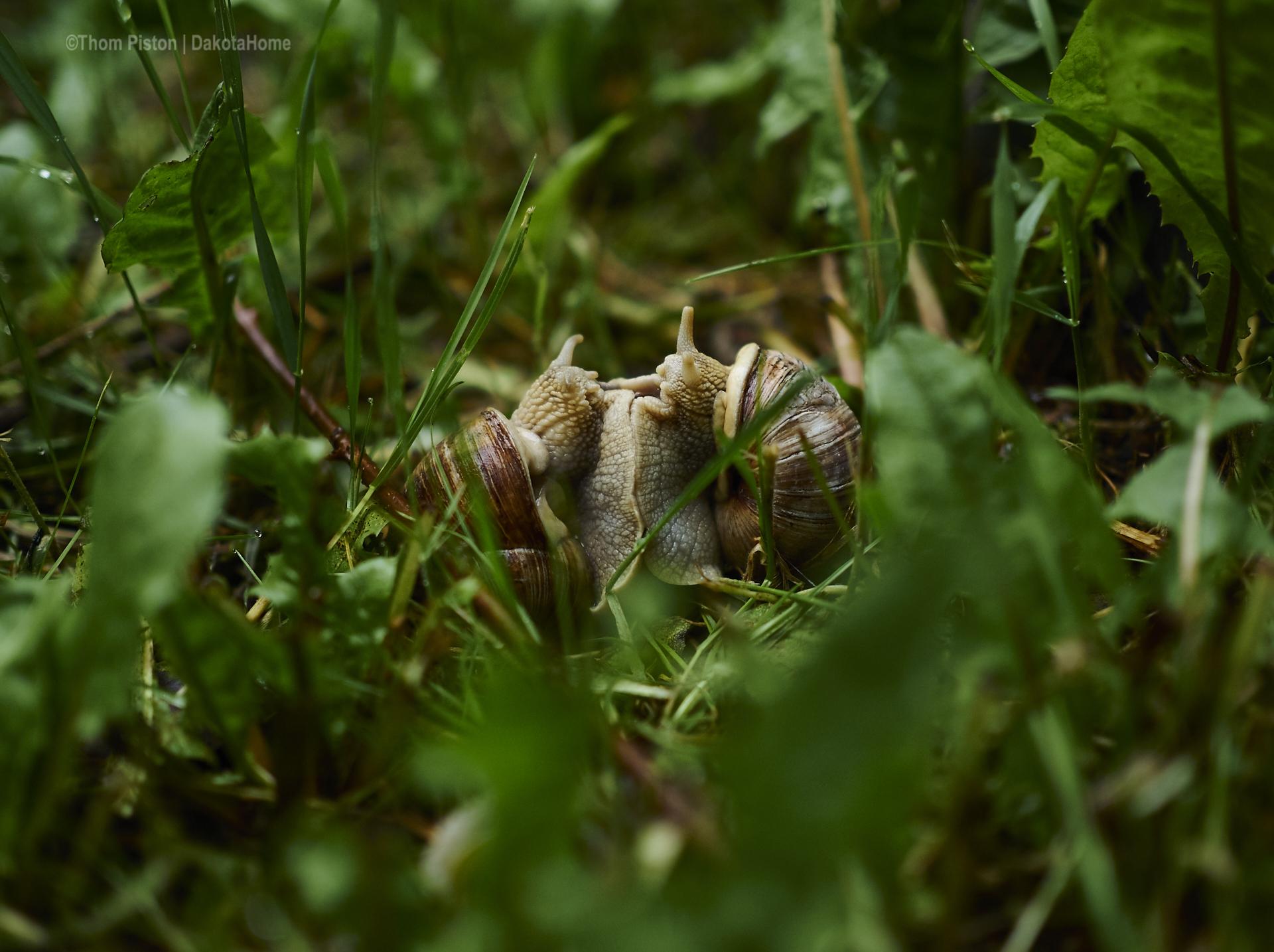 Kamasutra der weinbergschnecken