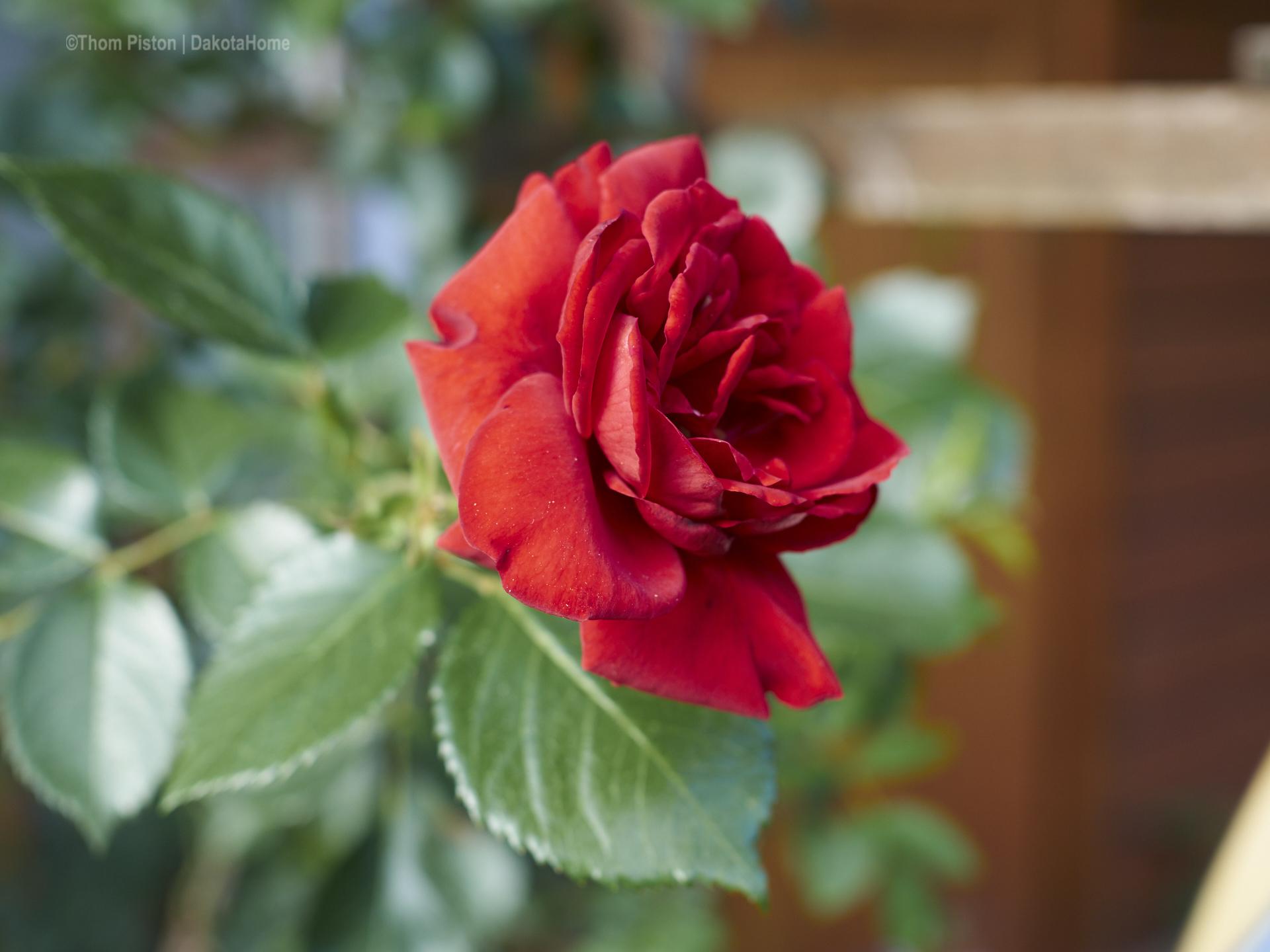 ..die Rosen am Dakota Home.. yeahh was ne freude..!
