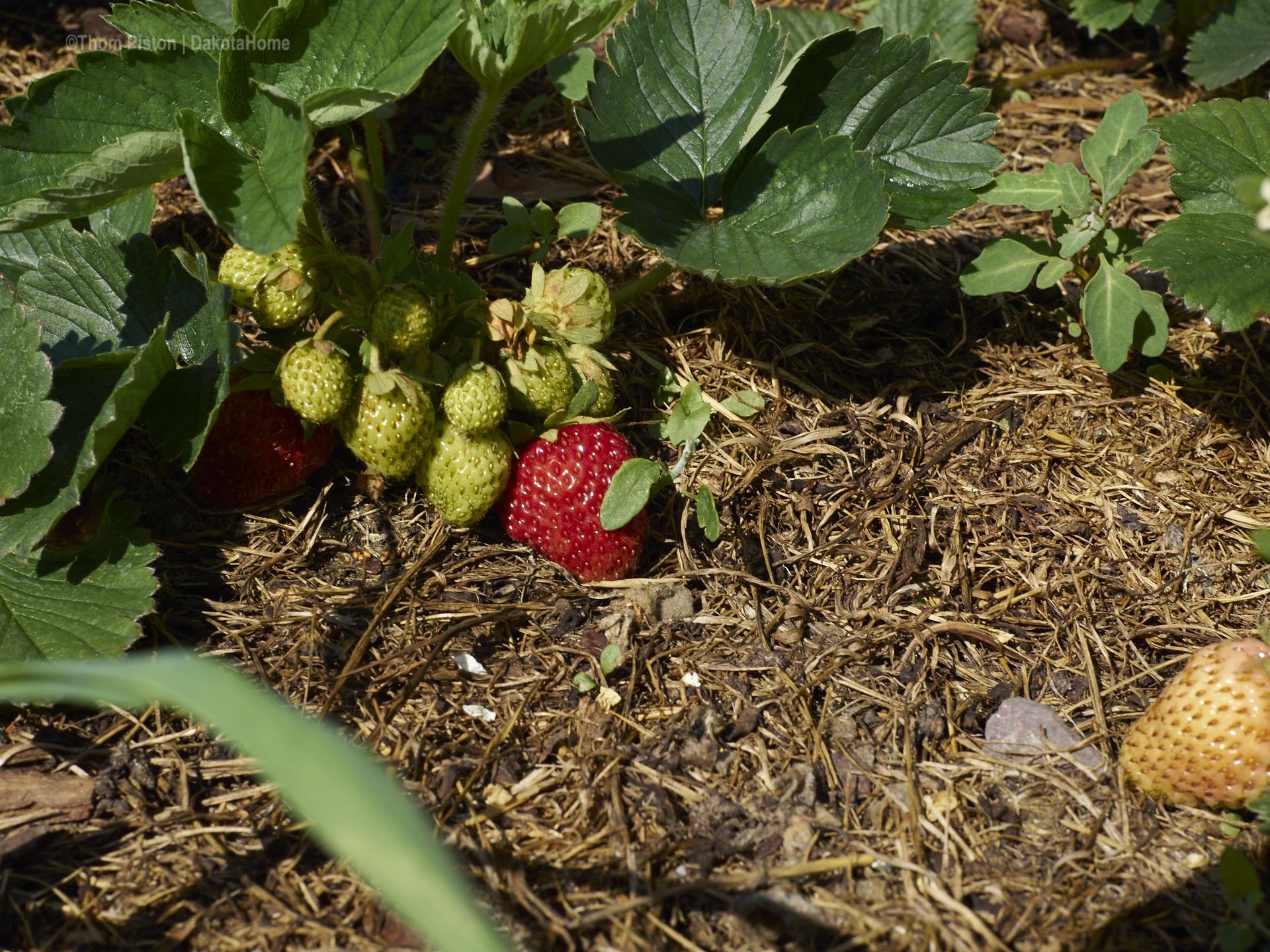 Erdbeerpflanzen durften auch raus vorige Woche, und jetzte erfreuen sie den Giessmeister..jeden morgen..:)