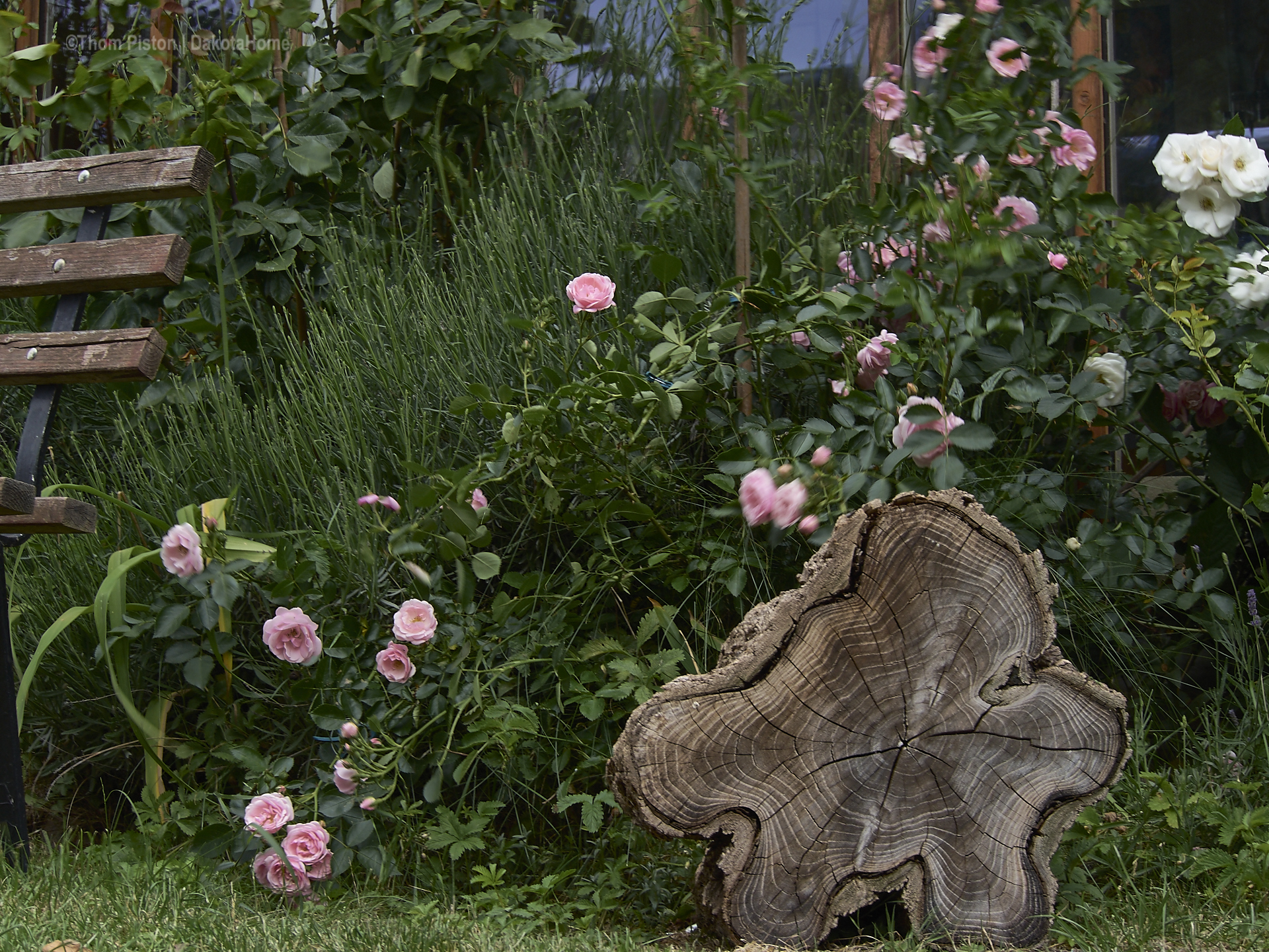 Dakota Home - unsere geliebten Rosen geben alles..