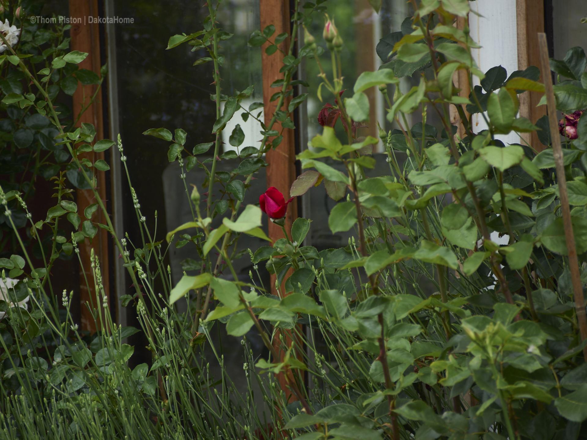 unsere geliebten Rosen geben alles..
