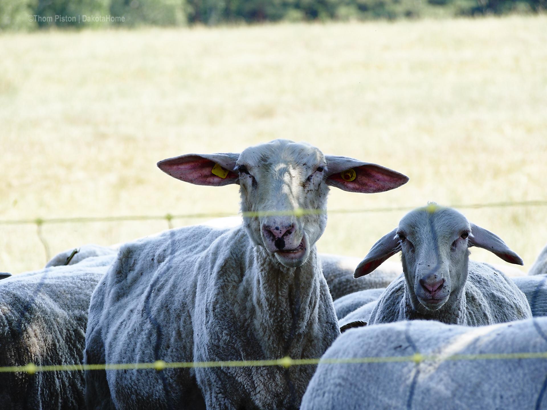 Schafe auf Schatten suche...es ist einfach für alles zu heiss im moment