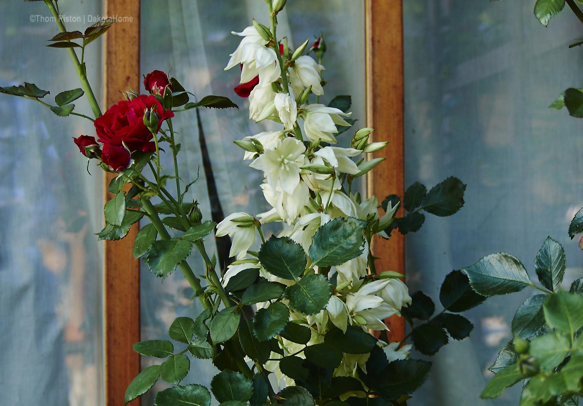 ...die weisse was auch immer Blume gesellte sich erstmals zu den Rosen am Dakota Home