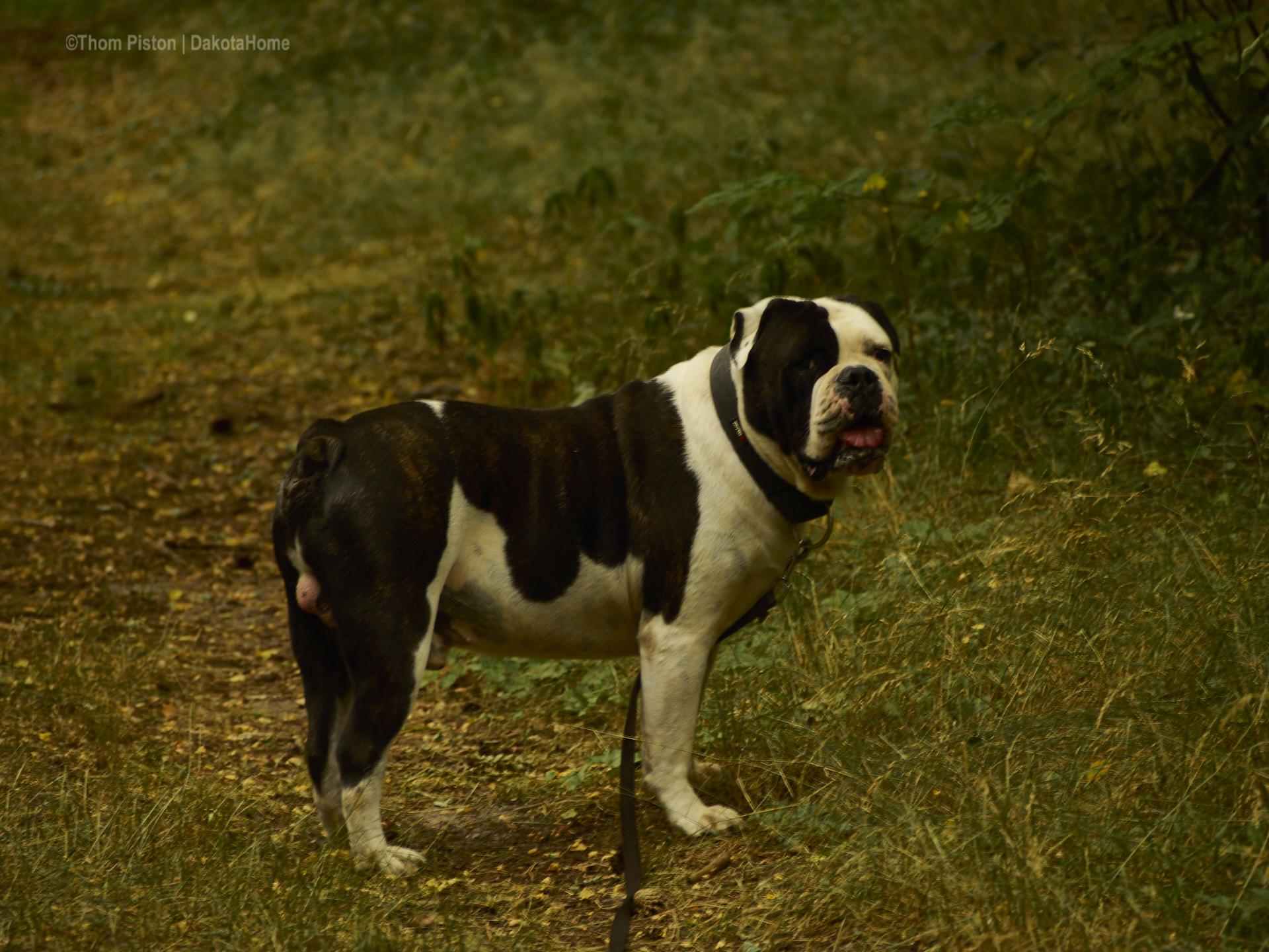 die Bulldogge freut sich endlich wieder etwas auslauf zu haben daher es mal nicht 30 grad sind..