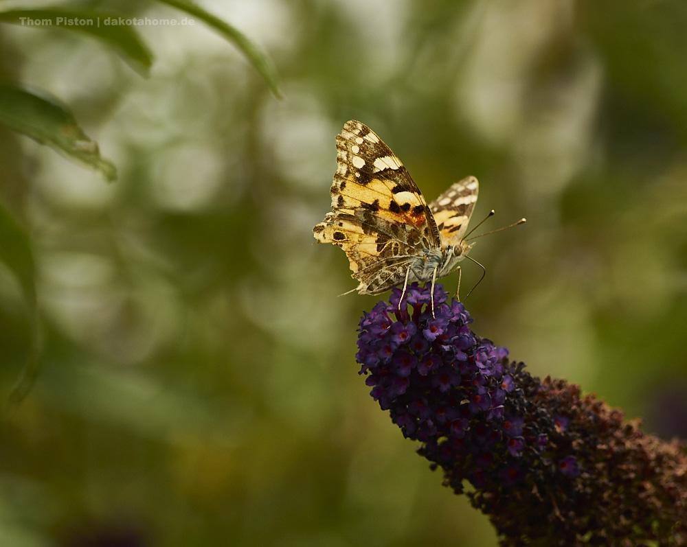 Schmetterlinge...gefühlt zu Hunderten