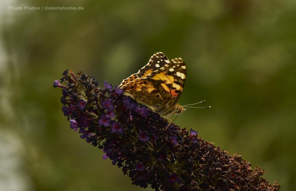 Schmetterlinge... ich fotografiere die ja wirklich gern..