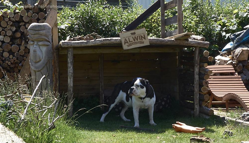 von da aus hat die Bulldogge das Grundstück gut im Blick