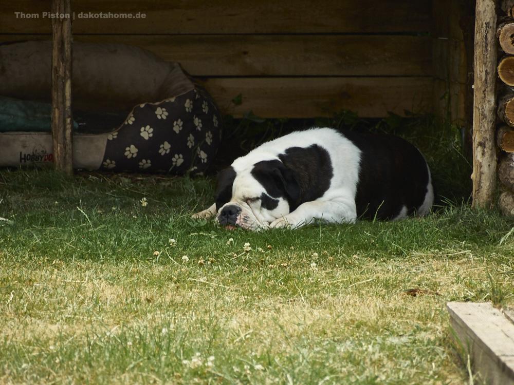 die bulldogge beim pennen..