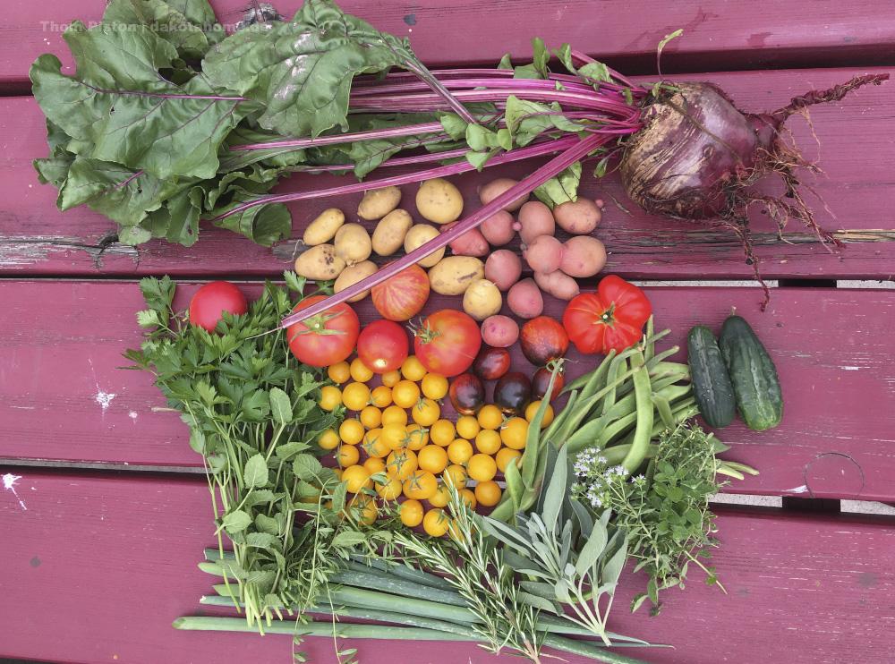 Ernte Mitte August, Dakota Home, 2019, omaten, Kartoffeln, Bohnen
