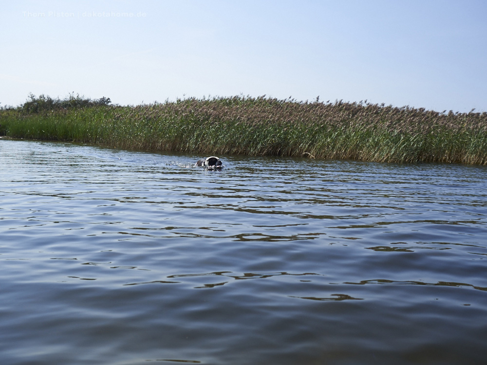 ..die Ohren funktionieren im Wasser natürlich nur so lala...im Schilf warten ja quasie Rumpel Kumpels auf Ihn..