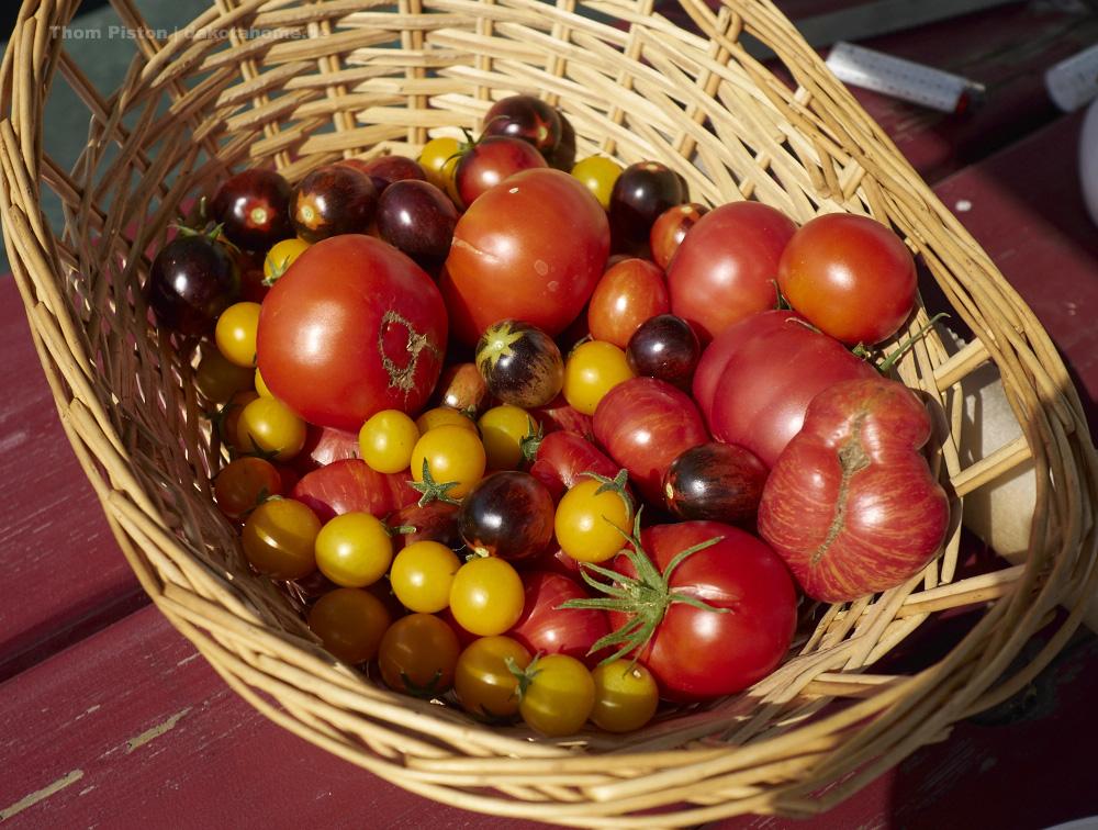 Tomaten..in rauhen massen, Ende September 2019, Dakota Home